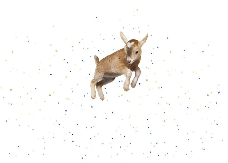 Goat jumping in confetti
